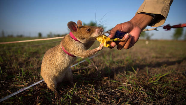 Hero Rats saving Cambodians from land mines - CBS News