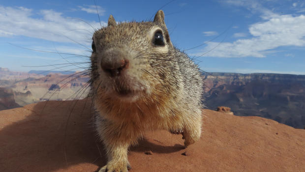 Squirrels: America's tiny menace