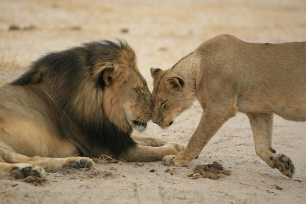 """Cecil"" the lion walks through Zimbabwe's Hwange Game Reserve"