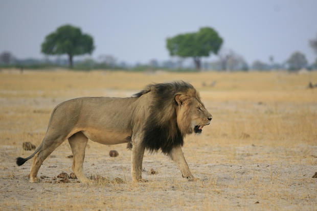Cecil the lion killed in Africa