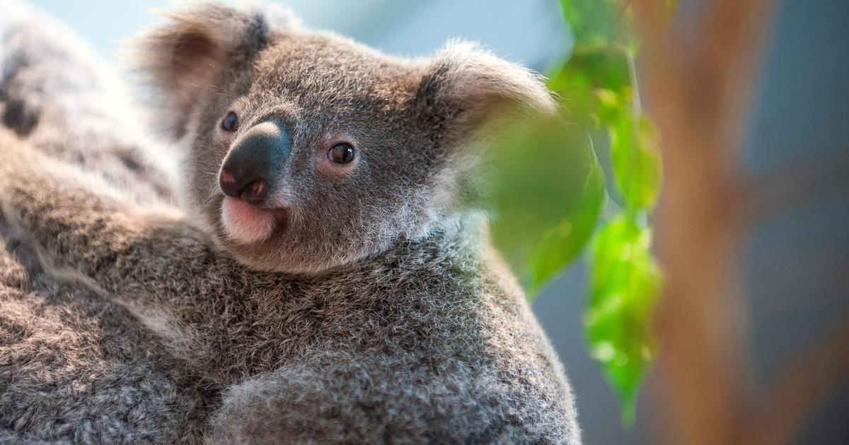 Koala Habitat Hundreds Of Koalas Feared Dead In Massive Australian Bushfire It S A National Tragedy Cbs News