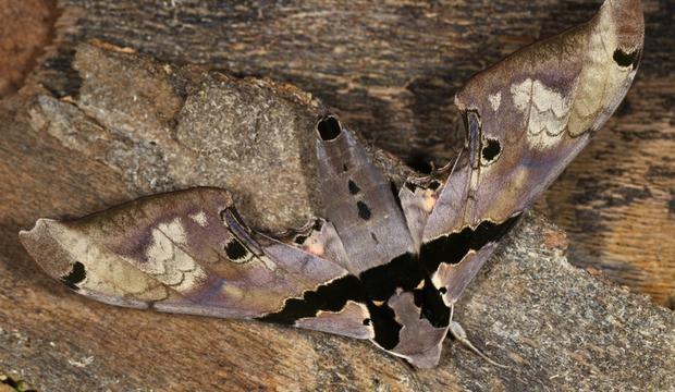 moth-5-adhemarius-dentoni-sphingidae-credit-mileniusz-spanowicz-wcs.jpg