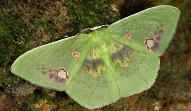 Sưu tập Bộ cánh vẩy  - Page 47 Moth-4-rhodochlora-endognoma-geotridae-credit-mileniusz-spanowicz-wcs