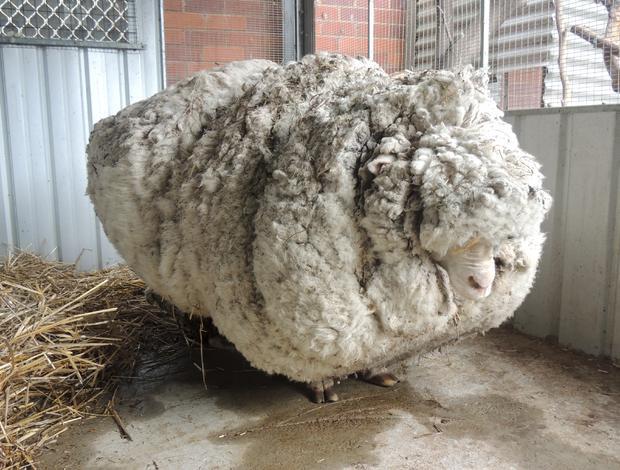 sheep2015-09-03t060050z1381360043gf10000191078rtrmadp3australia-sheep-wool.jpg