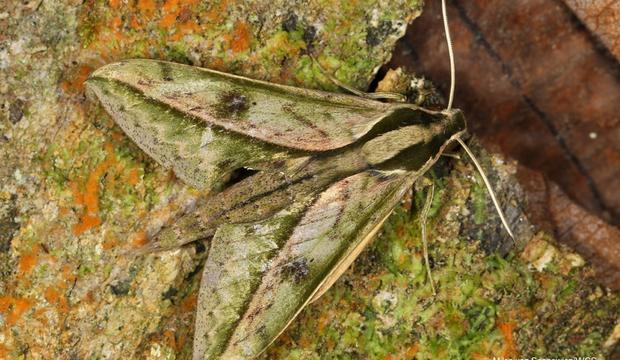 moth-8-xylophanes-amadis-amadis-hembra-sphingidae-credit-mileniusz-spanowicz-wcs.jpg