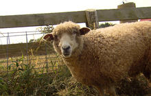 Sheep as pest management