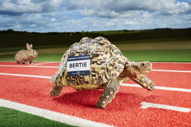 bertie-fastest-tortoise-120814-0056.jpg