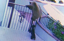 Watch: French bulldog chases bears off property