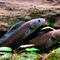 vibrant-blue-walking-snakehead-fishc-henning-strack-hansen.jpg