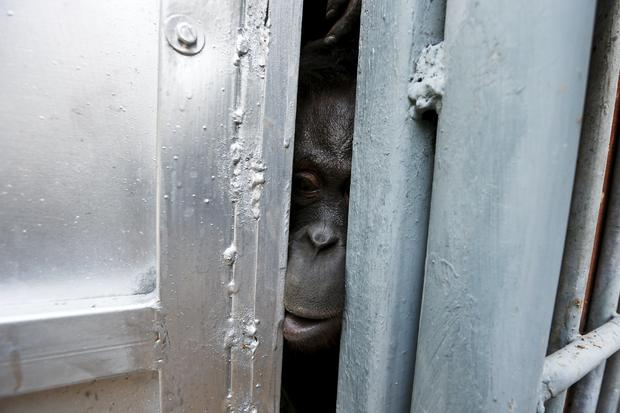 An orangutan looks out from inside a cage during preparations for the apes' repatriation to Indonesia at Kao Pratubchang Conservation Centre in Ratchaburi