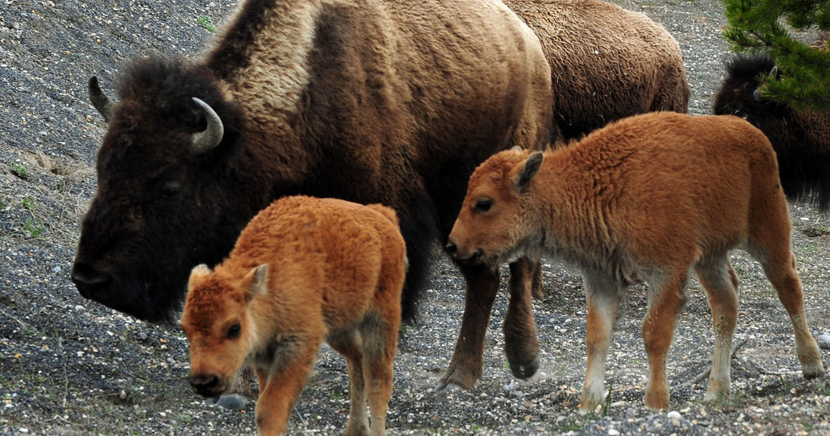 Woman injured by bison in Yellowstone National Park flown to hospital