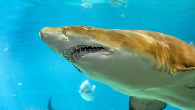 Shark nursery discovered in new york waters cbs news publicscrutiny Gallery