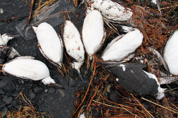 alaska-bird-deaths-group.jpg