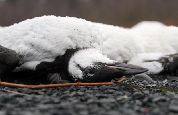 alaska-bird-deaths-closeup.jpg