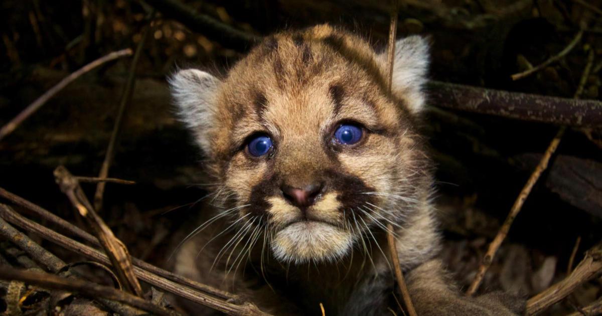 Mountain Lions of L.A. - CBS News bcff9e1e5