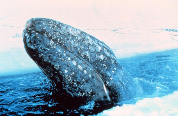 gray-whale-trapped-in-arctic-ice-north-of-point-barrownoaa.jpg