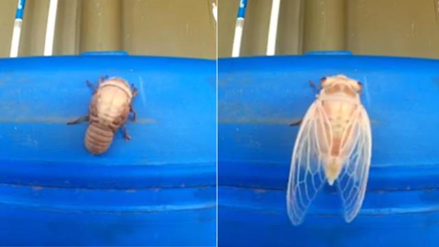 cicada-splitscreen.jpg