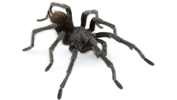 Spider >> 13 Spider In Black The World S Most Dangerous Spiders Warning
