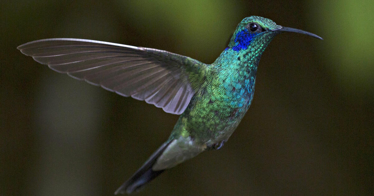 28e5d424bf Green Crowned Brilliant - Hummingbirds of Costa Rica - Pictures - CBS News