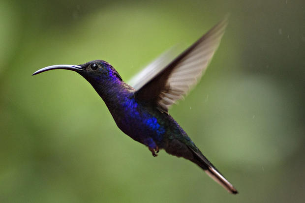 07036b9b46 Violet Sabrewing - Hummingbirds of Costa Rica - Pictures - CBS News