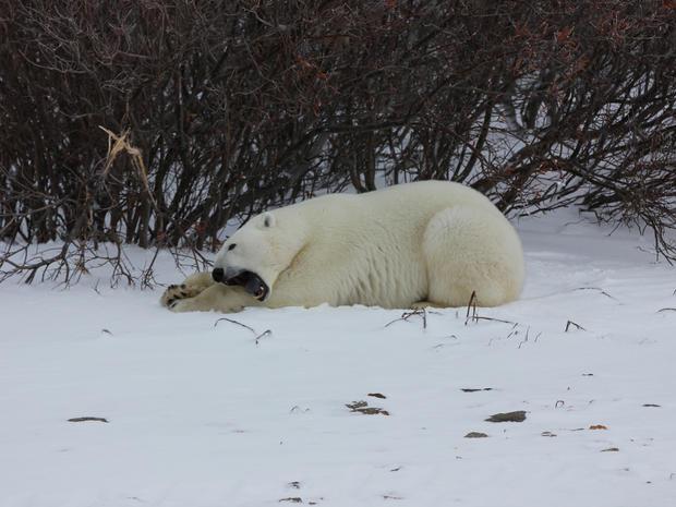churchill-manitoba-polar-bear-capital-dustin-stephens-img1757.jpg