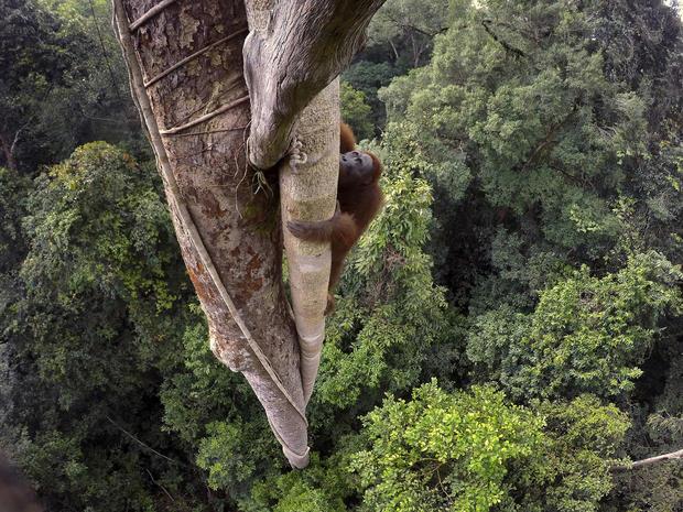 c-tim-laman-tough-times-for-orangutans-02.jpg