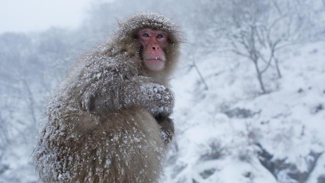 mark-hemmings-snow-monkeys-japan-91a1365.jpg