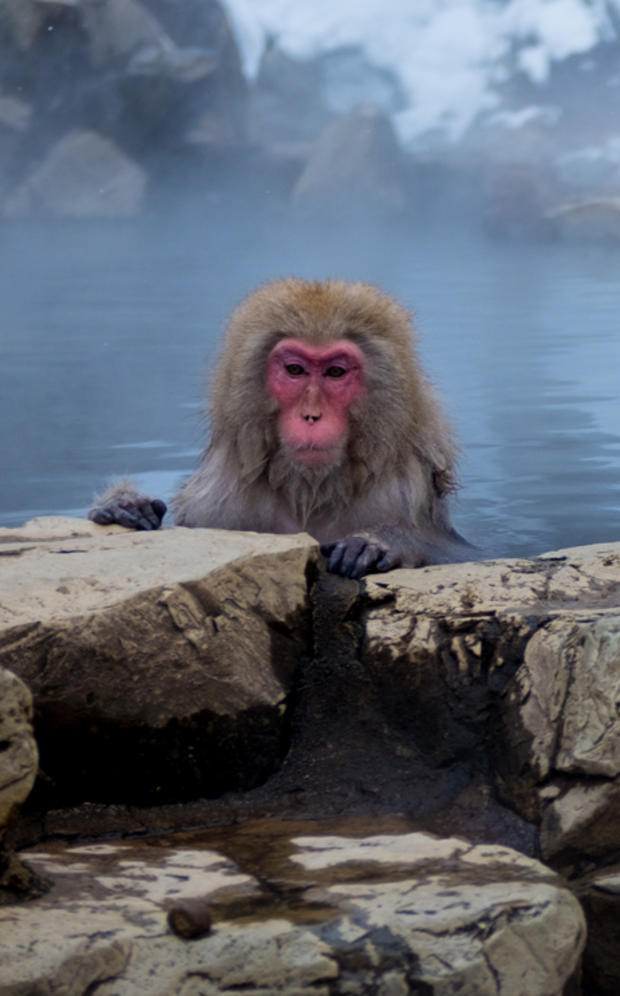 mark-hemmings-snow-monkey-basking-dsf1981.jpg
