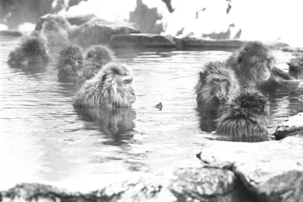 mark-hemmings-snow-monkeys-springs-c2079.jpg