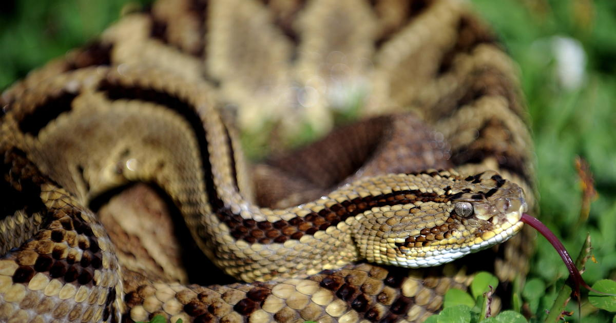 Massachusetts Plans Venomous Rattlesnake Colony On Island