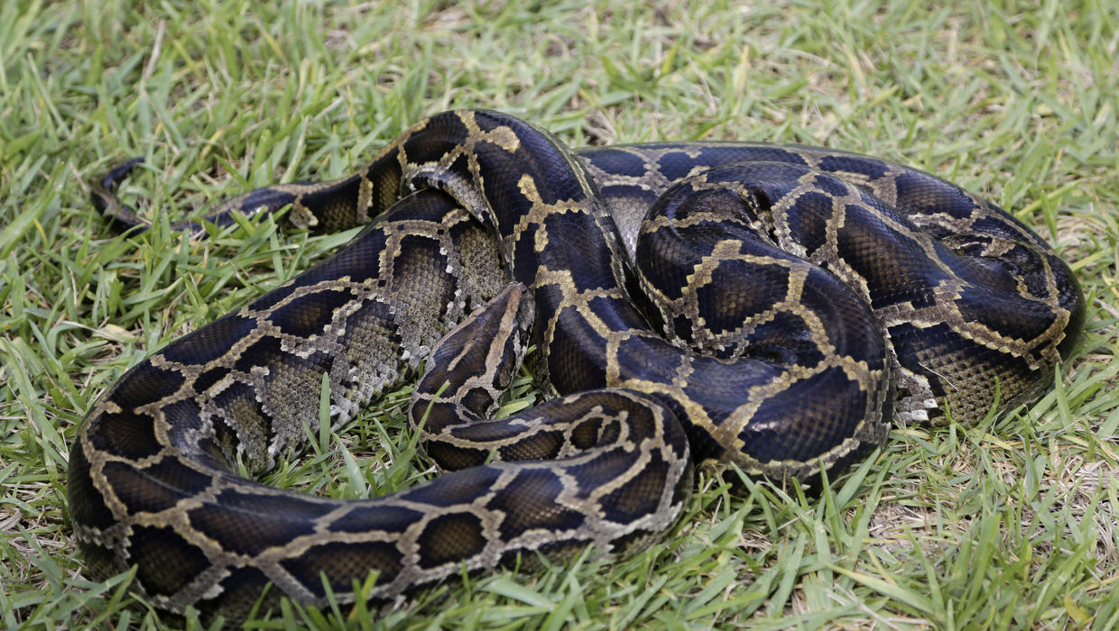 the characteristics of the burmese python and its effects on the ecosystem of florida