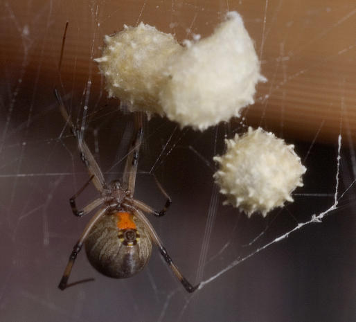 9 Brown Widow Spider The World S Most Dangerous Spiders