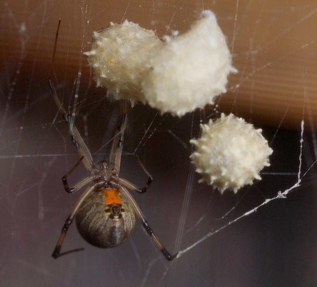The World S Most Dangerous Spiders Warning Graphic Images Cbs News