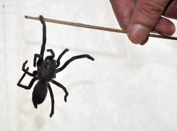 8. Hairy mystery spider - The world\'s most dangerous spiders ...