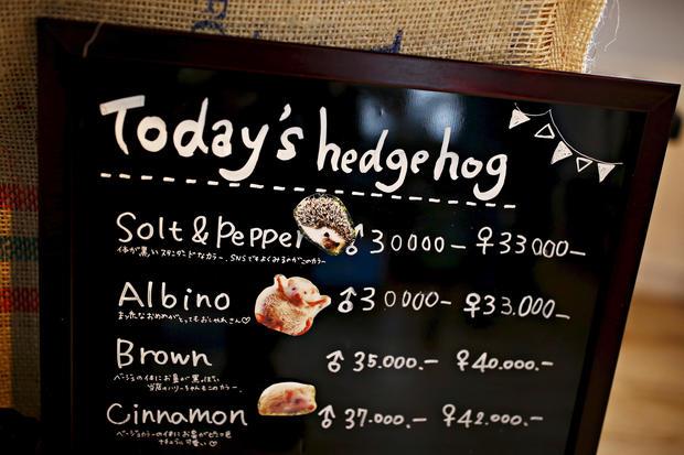Hedgehog Cafe The Hedgehog Cafe Pictures Cbs News