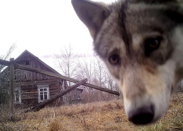 Wildlife flourishes in Chernobyl