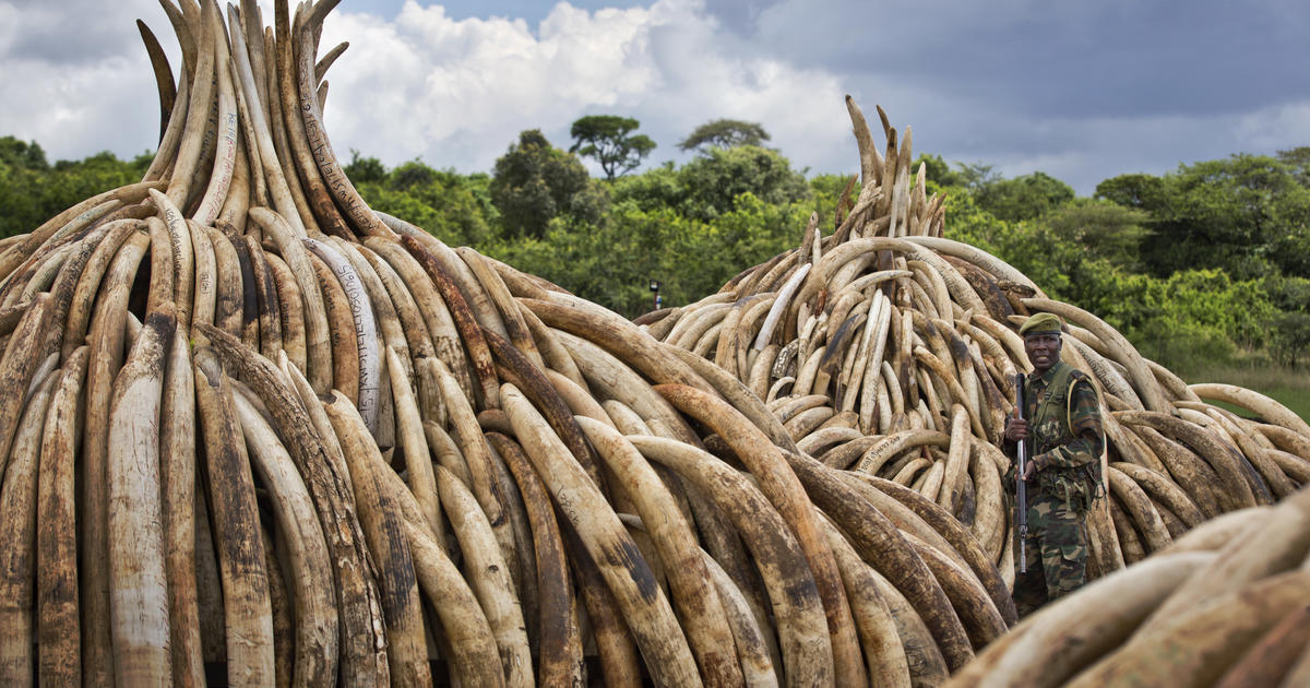ac6f6dd59 China vows shutdown of ivory trade by end of 2017 - CBS News