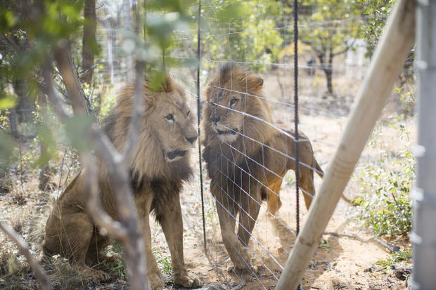 Rescued circus lions airlifted to South Africa