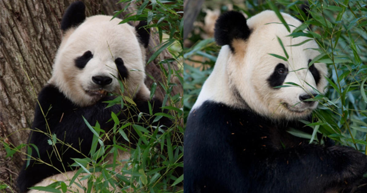 Could the trade war with China cost U.S. its pandas?