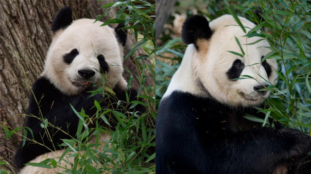 mei-xiang-and-tian-tian-620.jpg