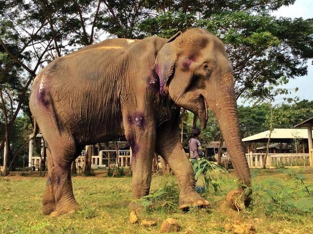 Thailand's elephant whisperer rescues the injured