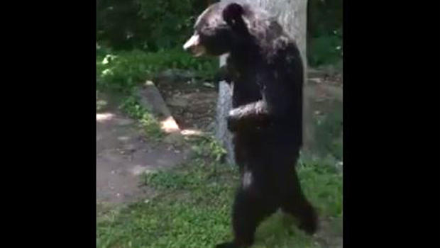 A New Jersey bear known as Pedals for walking on its hind legs was seen in Oak Ridge on June 20, 2016, in this image capture from video posted to Facebook.