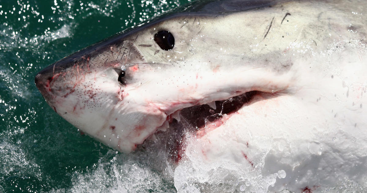 Great white shark off New Jersey coast: Fishermen's close encounter with great white shark caught on video