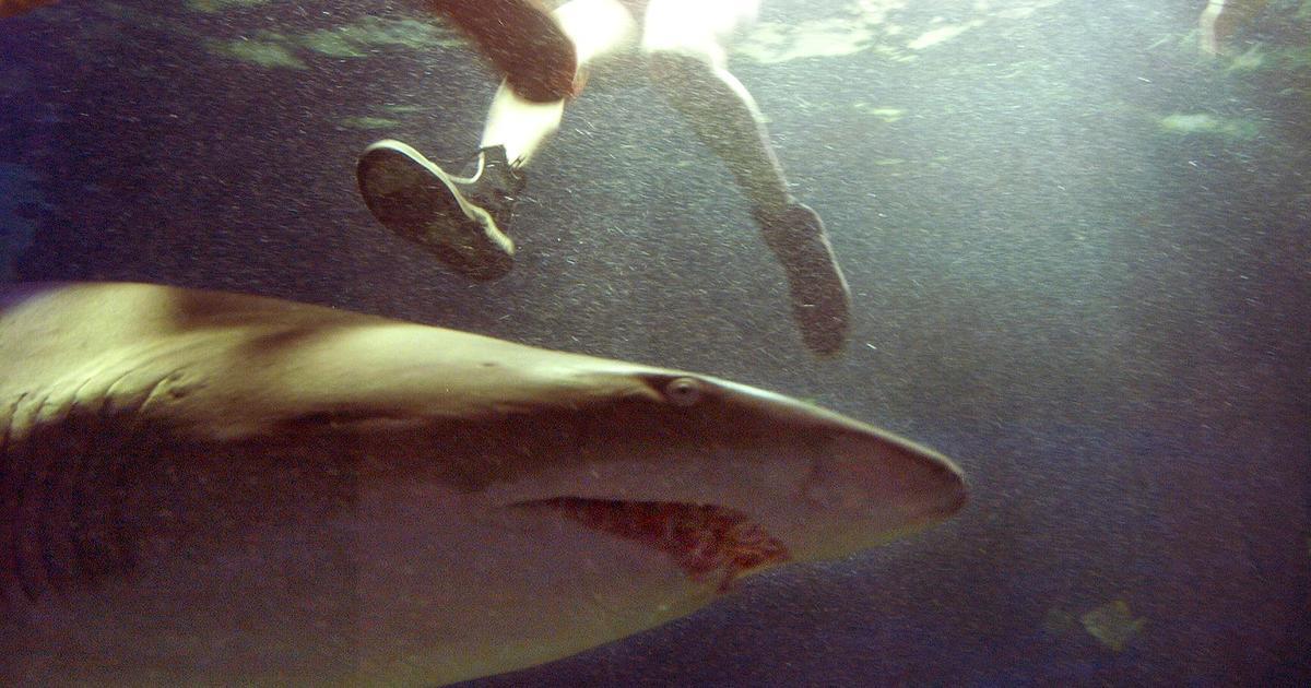Shark Attacks Warning Graphic Images Cbs News