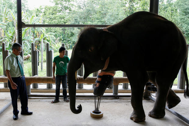 Elephant landmine victims get a new lease on life with prosthetic limbs