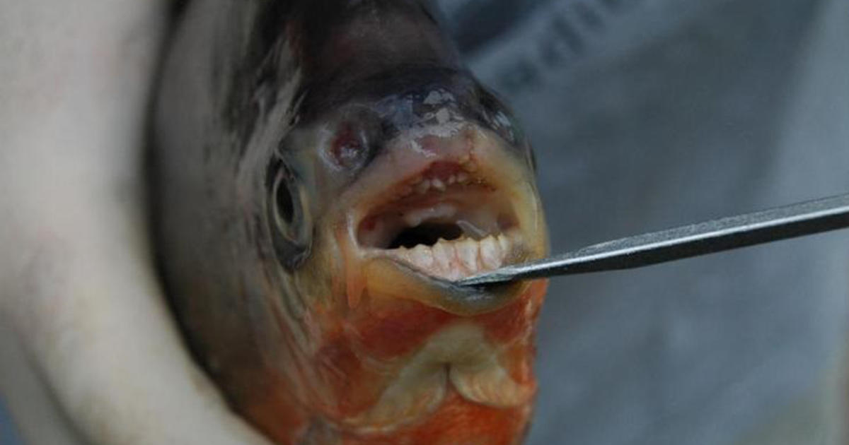 quotVegetarian piranhasquot with humanlike teeth found in