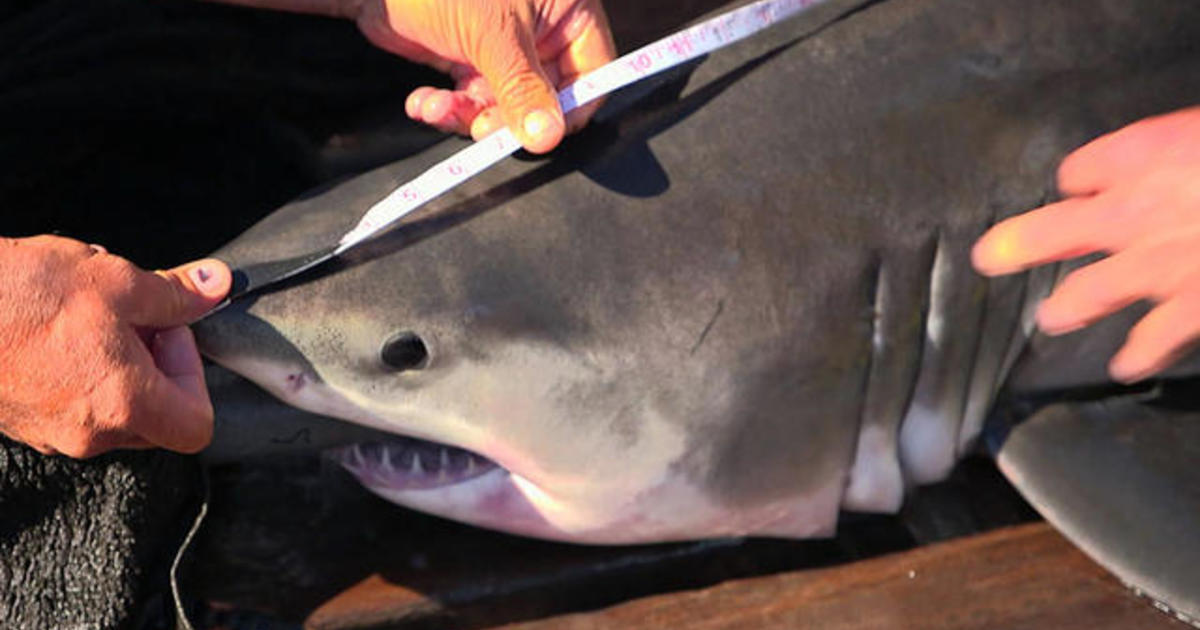 Ocearch: Discovery of first-ever great white sharks nursery found in
