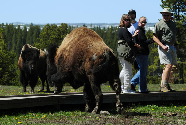yellowstone-bison-gettyimages-115032717.jpg