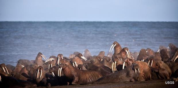 walrus2.jpg