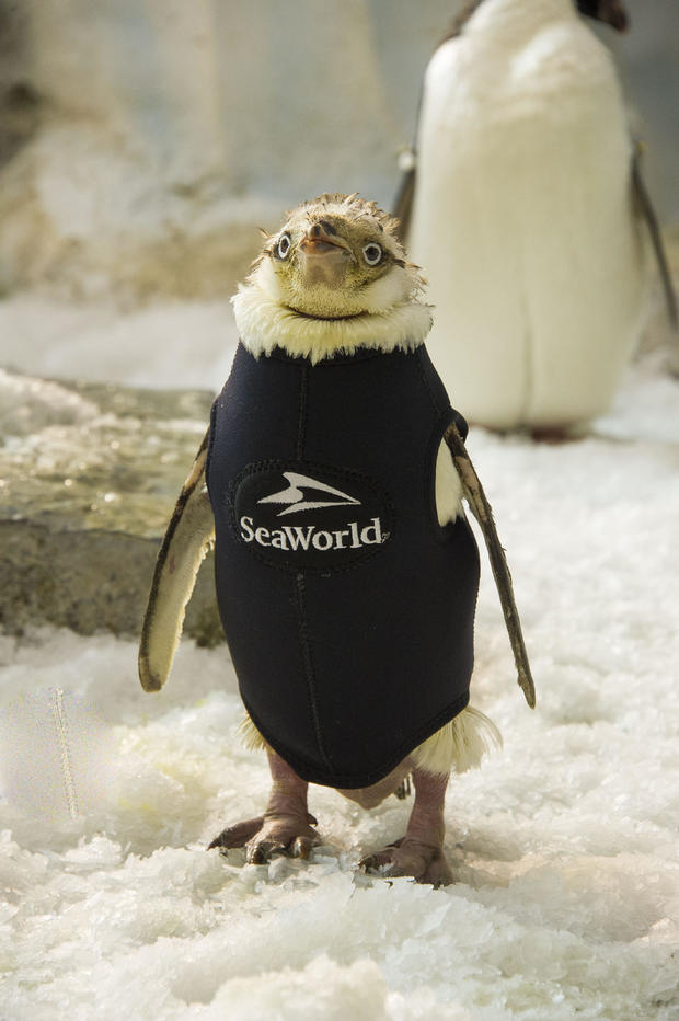 Mystery of the naked penguin chicks who have lost all